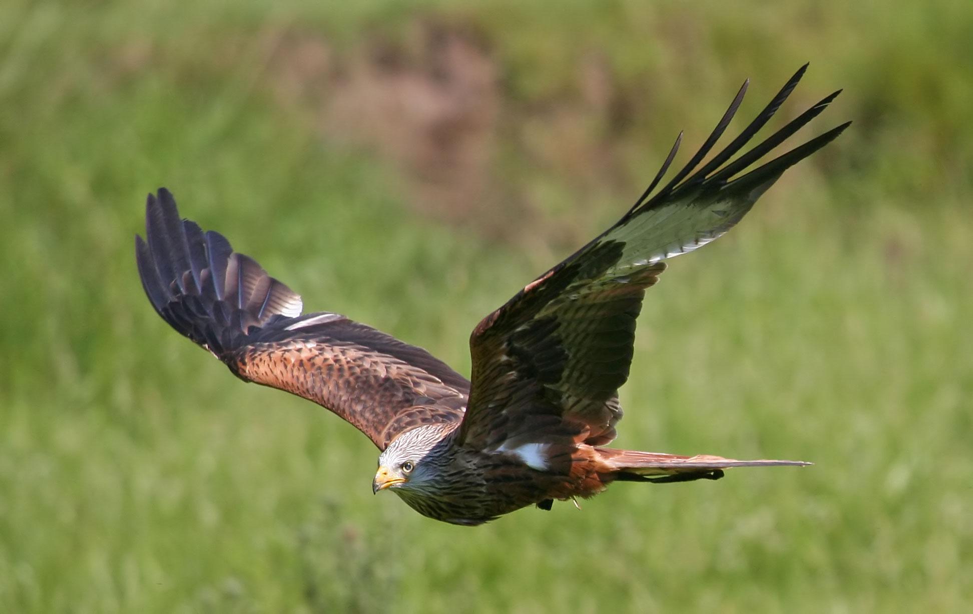 Flying_Falcon
